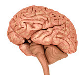 Human brain 3D model, isolated on white.