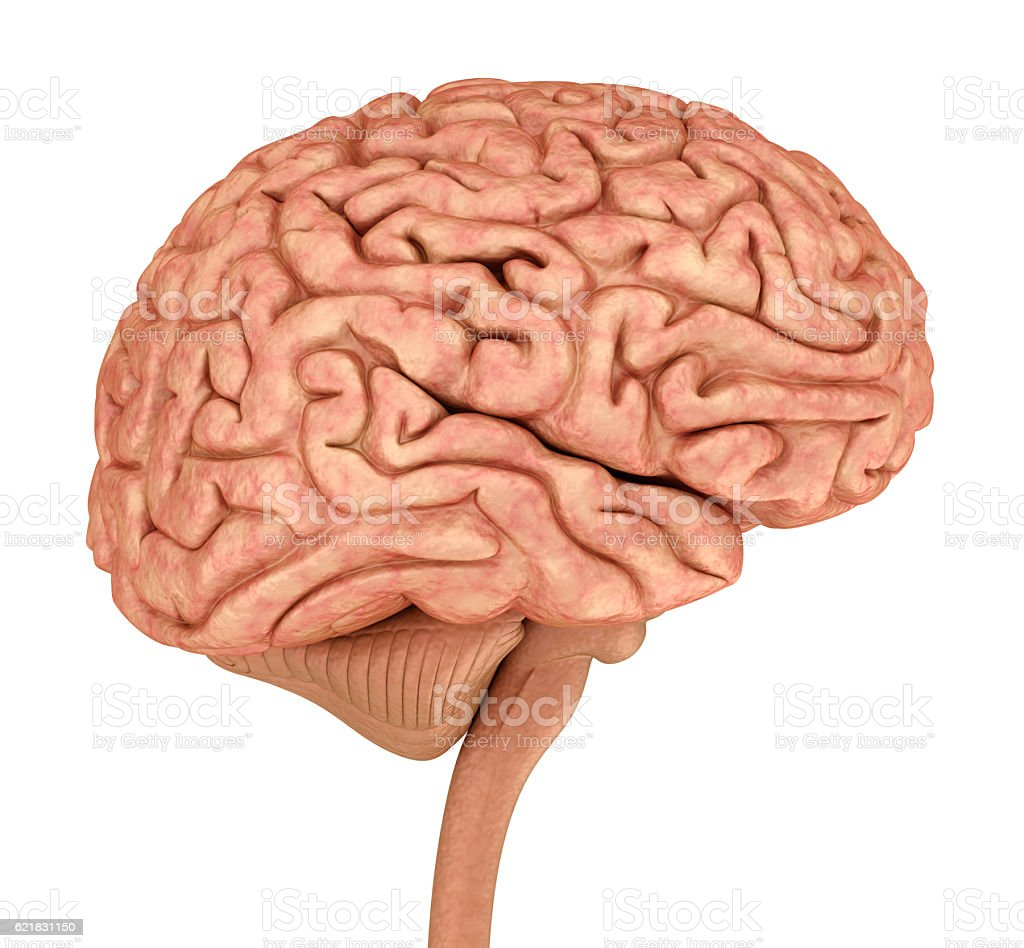 Human brain 3D model, isolated on white. stock photo
