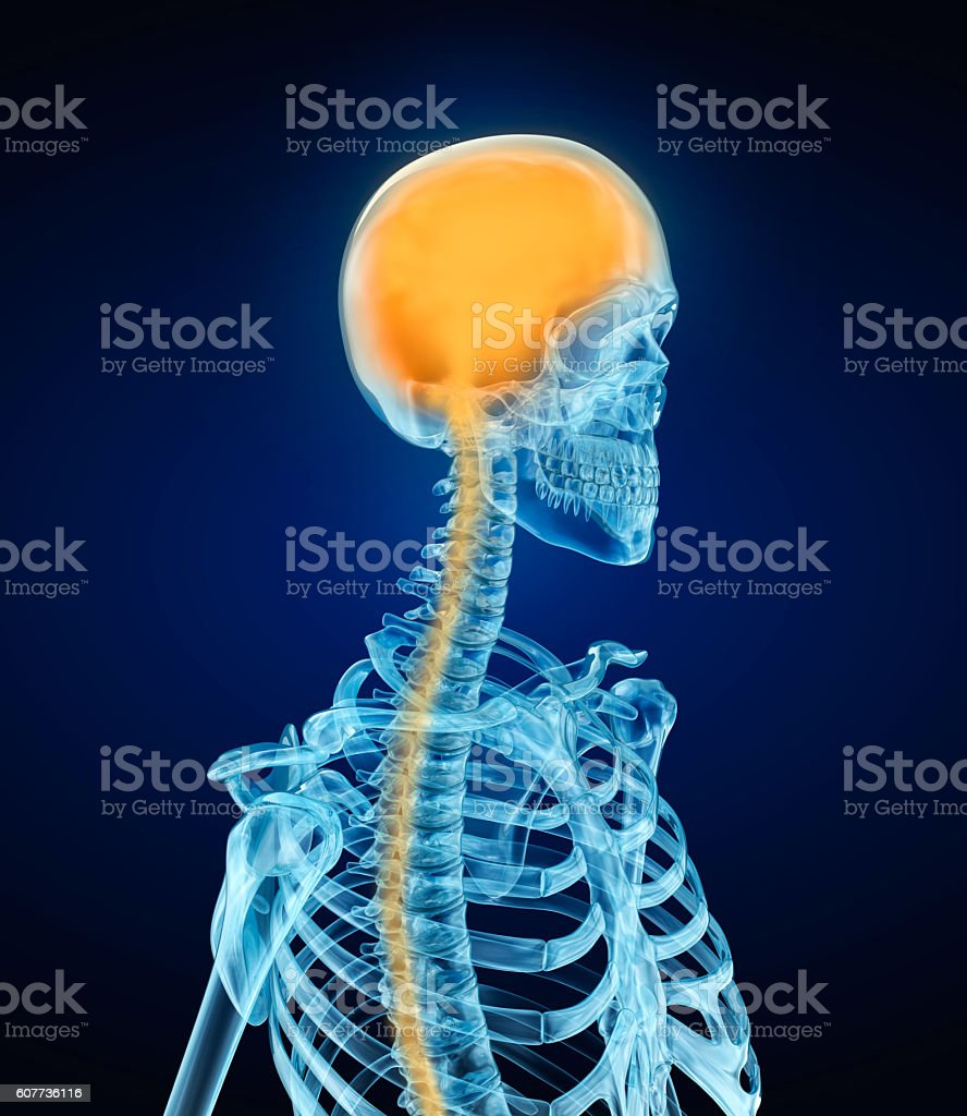 Human Brain Anatomy and skeleton . Xray view. stock photo