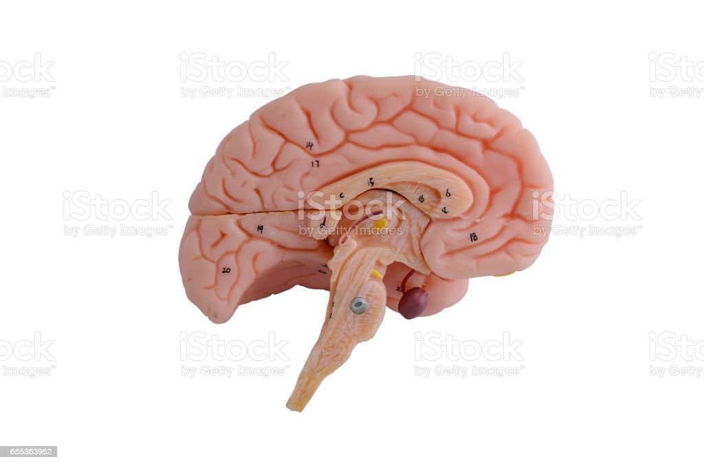 Human brain anatomy model on white background stock photo