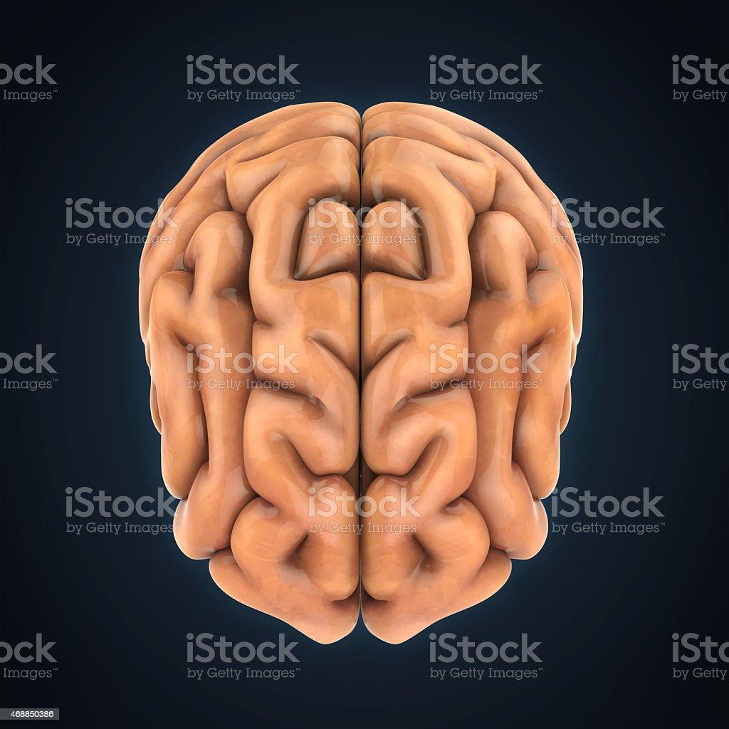 Cerebro Humano Anatomía Stock Foto e Imagen de Stock 468850386 | iStock