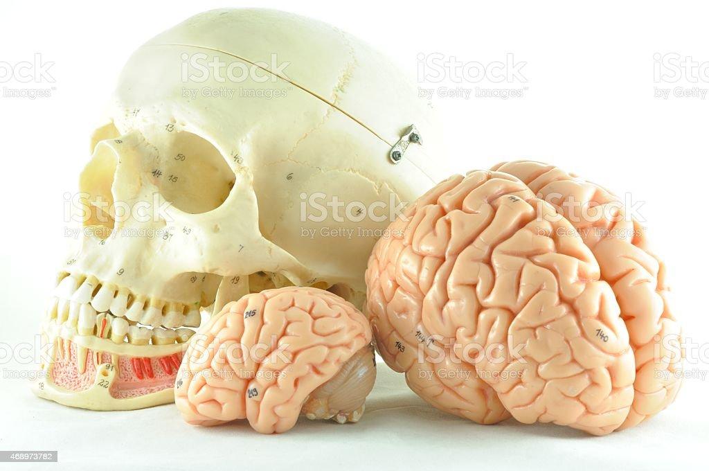 human brain and skull stock photo