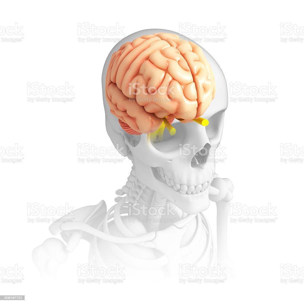 Human brain antomy stock photo