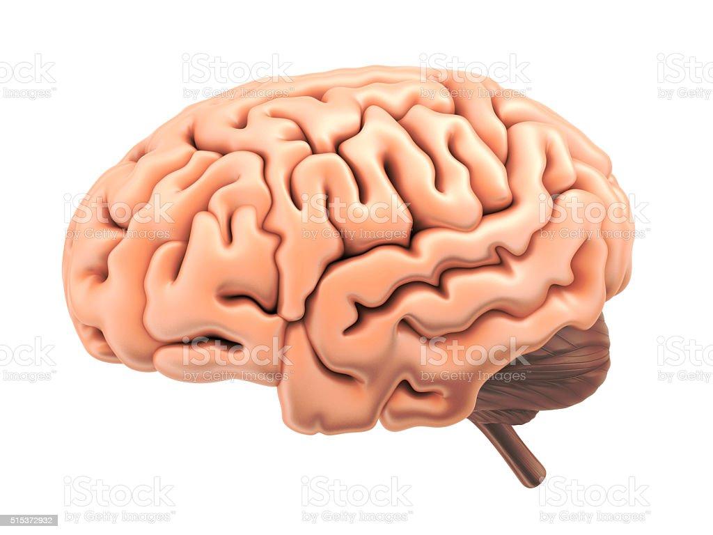 Human brain isolated stock photo