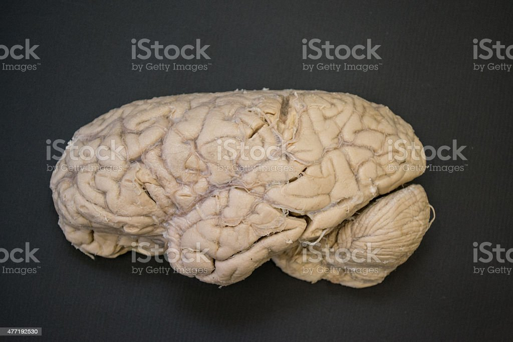 Human brain - lateral view - left side - HD stock photo