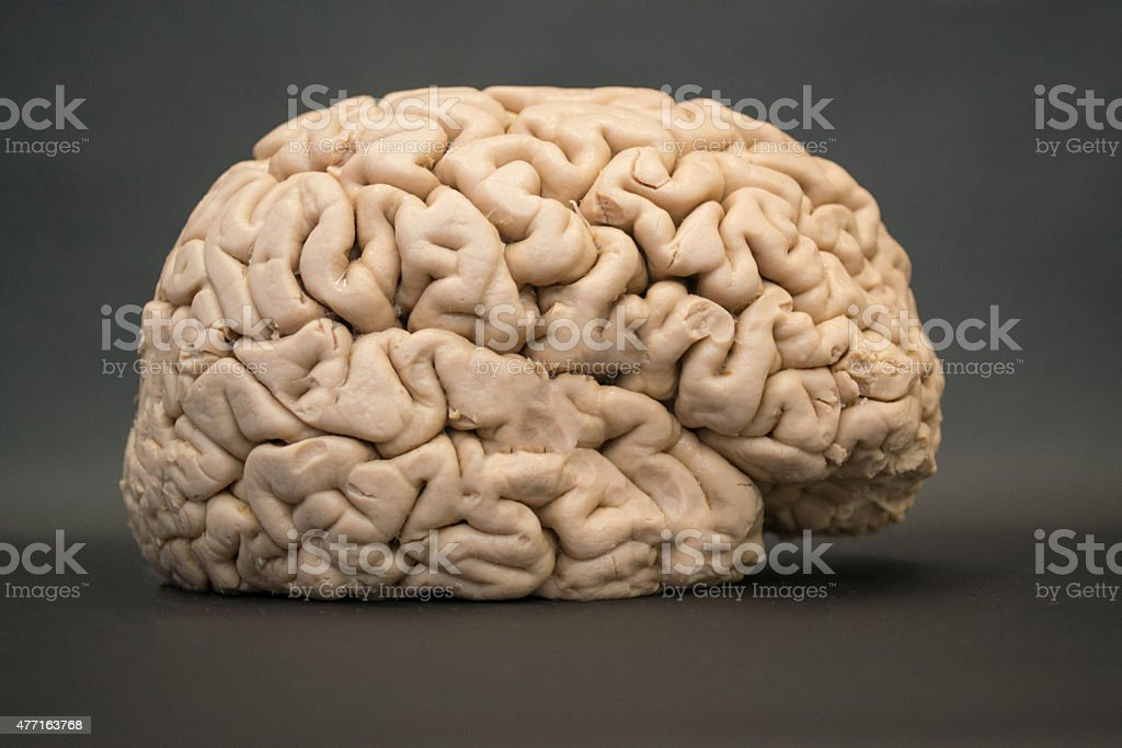 Human brain - lateral view - right side - HD stock photo