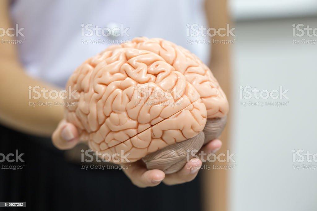 Human brain model for education in laboratory. stock photo