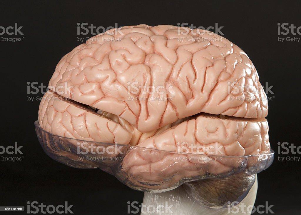 Human Brain Model on Black Background royalty-free stock photo