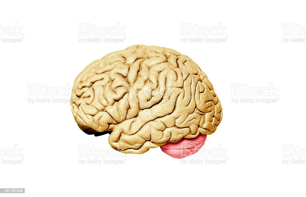 Human brain model on white background stock photo