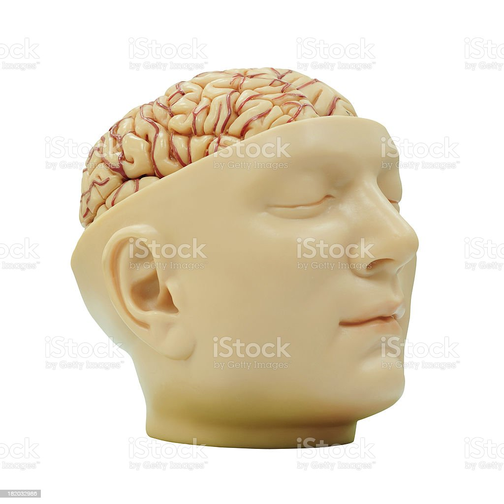 Human brain model royalty-free stock photo