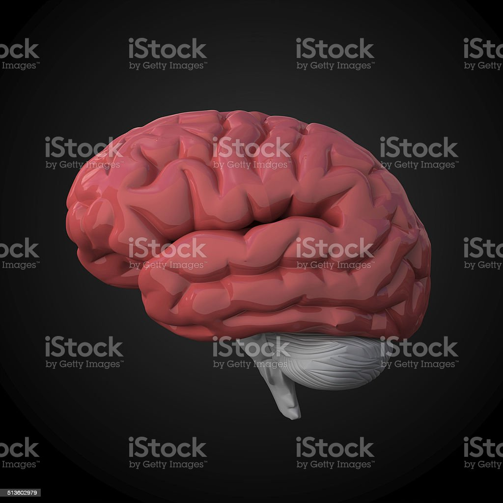 Human brain model stock photo