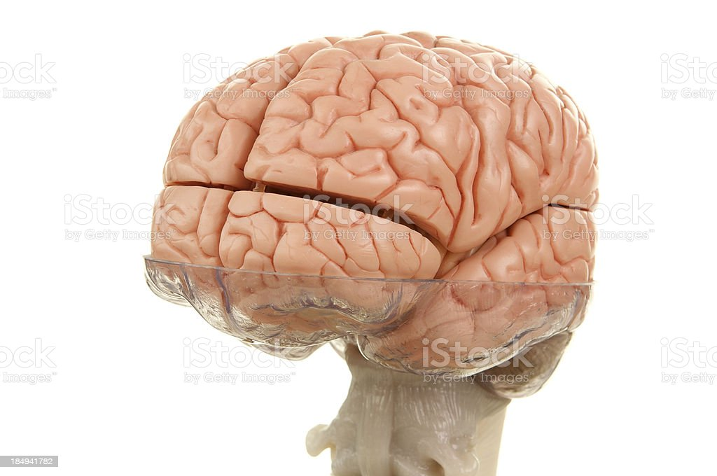 Human Brain Model with Top of Spinal Cord stock photo