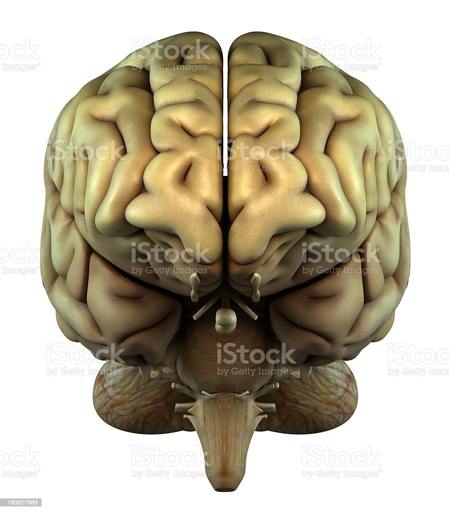 Human brain on front view royalty-free stock photo