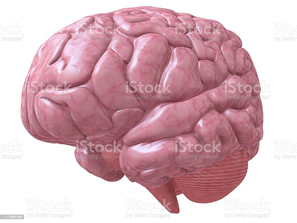 human brain royalty-free stock photo