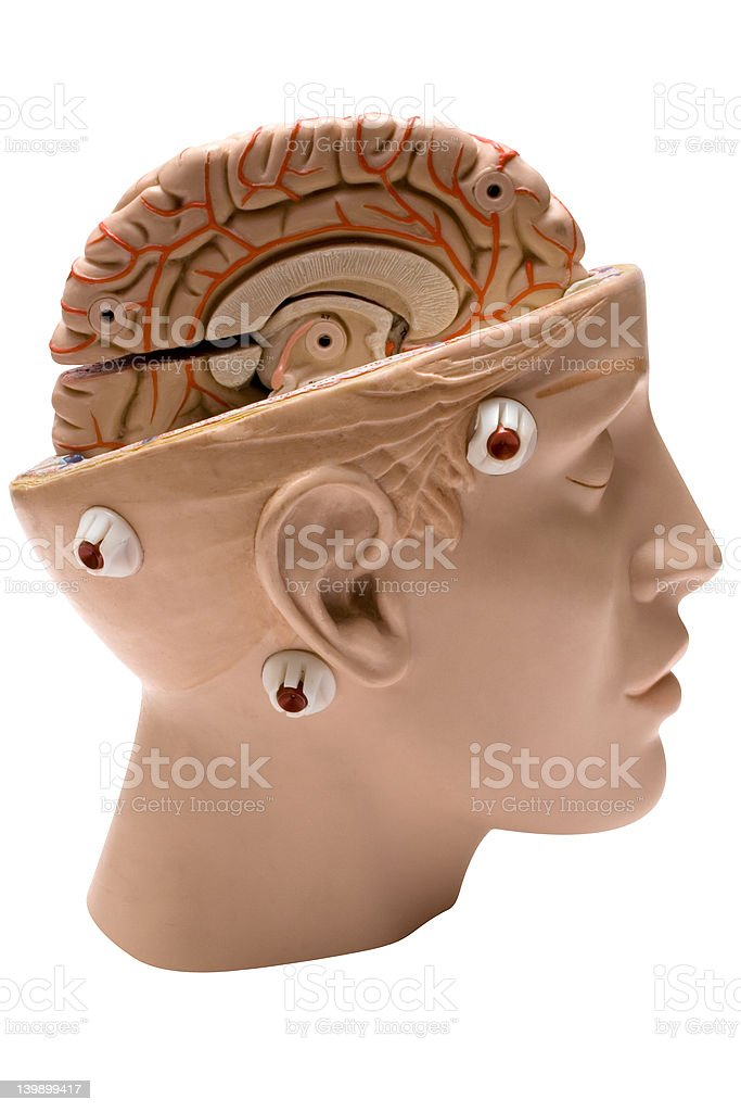 Human Brain (Side View) royalty-free stock photo