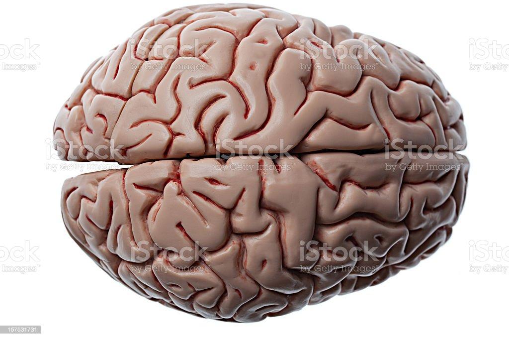 Human Brain (top view) stock photo