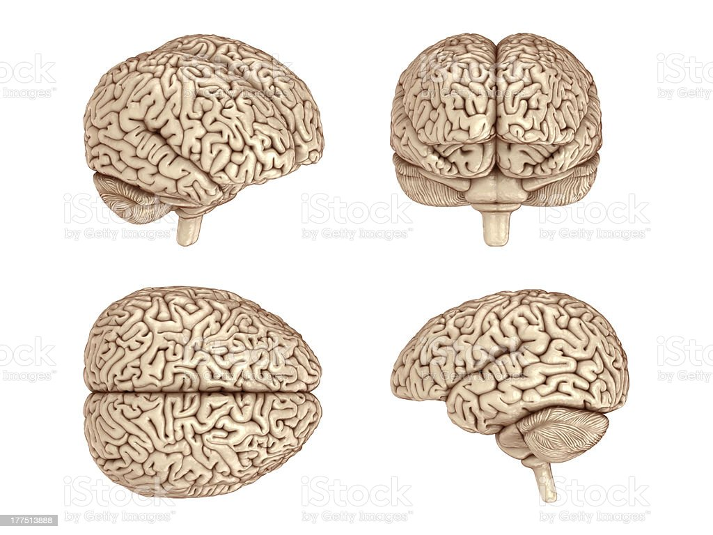 Human brain. royalty-free stock photo