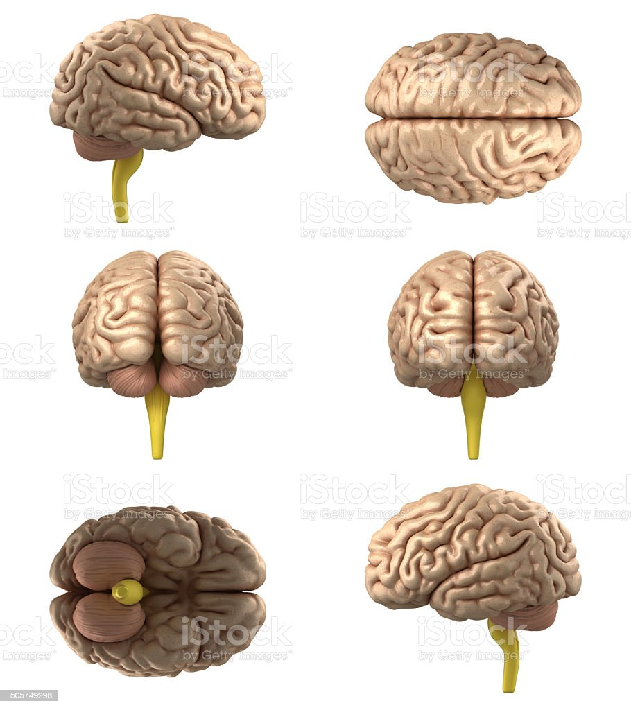 Human Brain(XXXXXL) stock photo