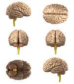 Human Brain(XXXXXL)