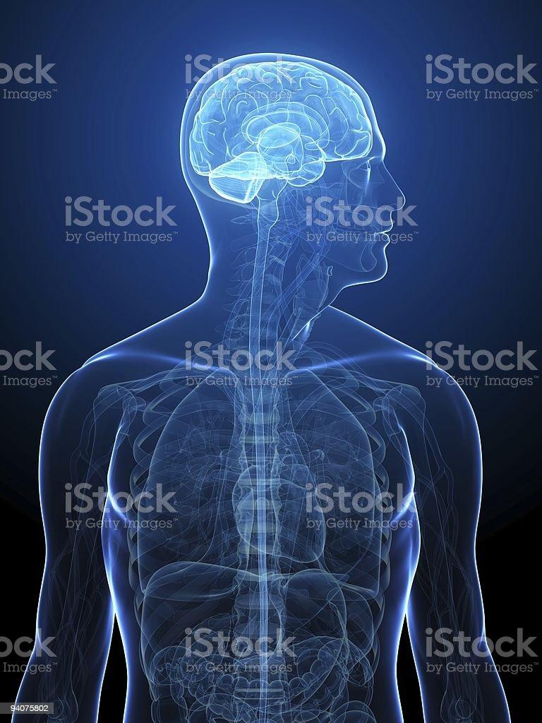 human brain royalty-free stock photo