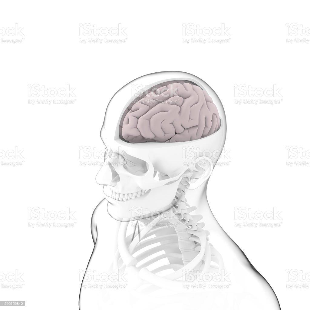 Menschliche Gehirn Anatomie Knochen Stockfoto 516755840   iStock