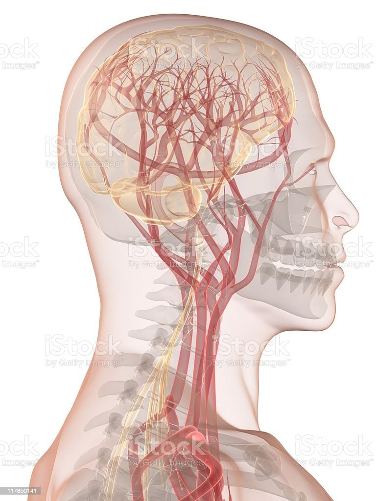 Human brain with nerves and arteries royalty-free stock photo