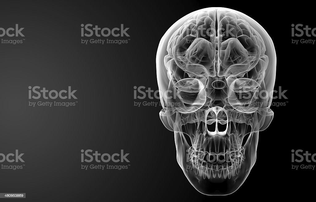 Human brain X ray royalty-free stock photo
