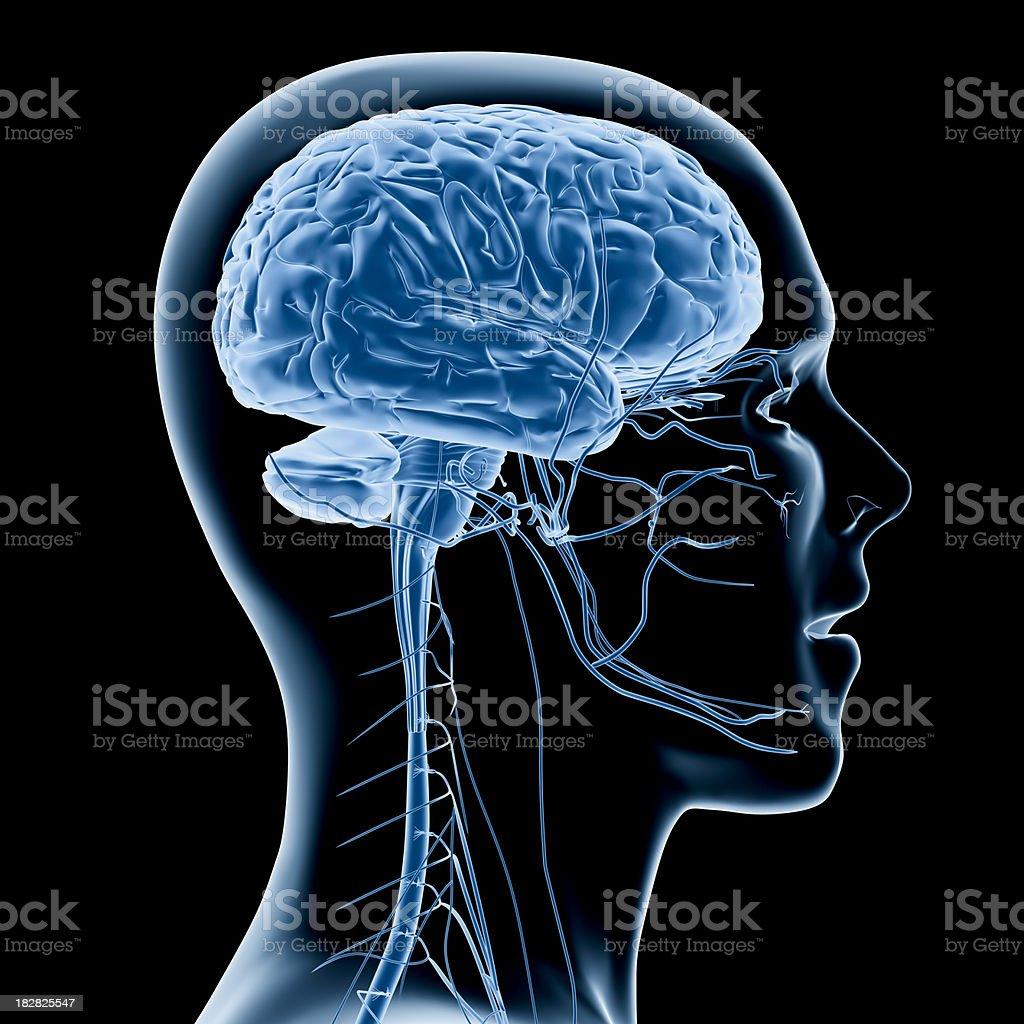 Human brain x-ray royalty-free stock photo