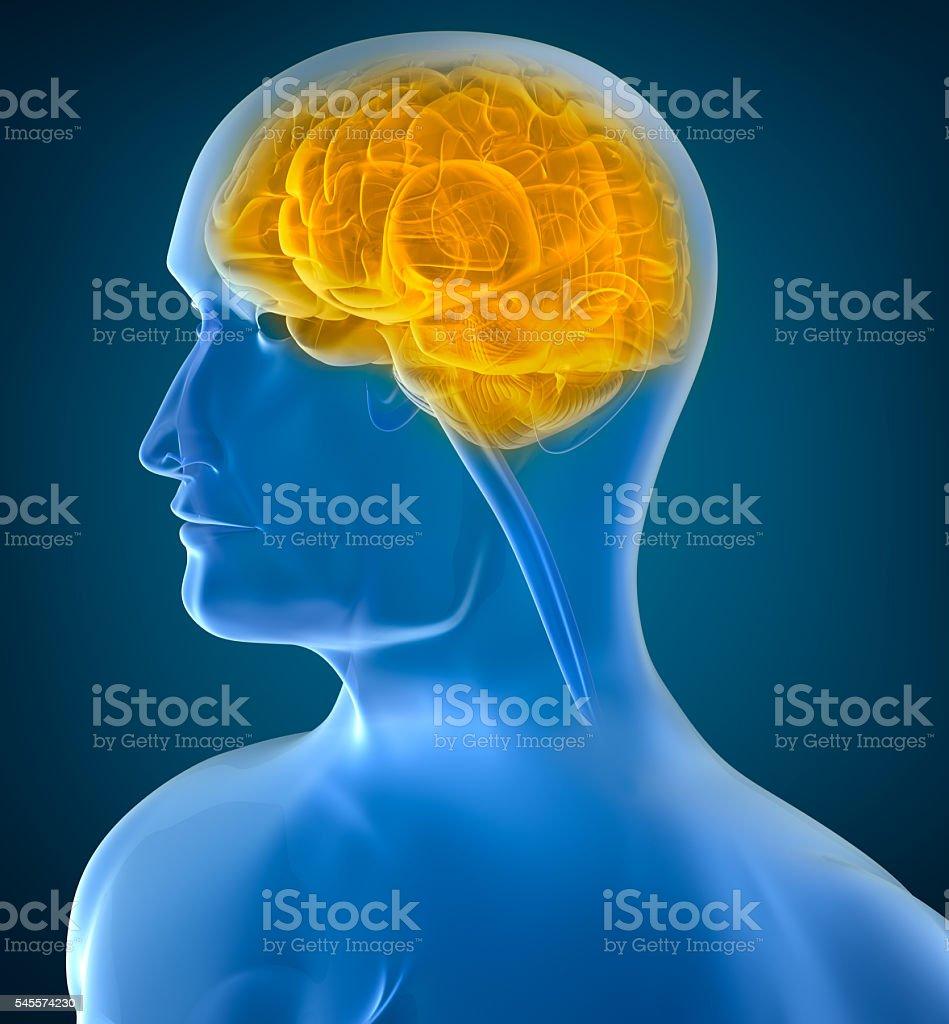 Human brain x-ray view stock photo