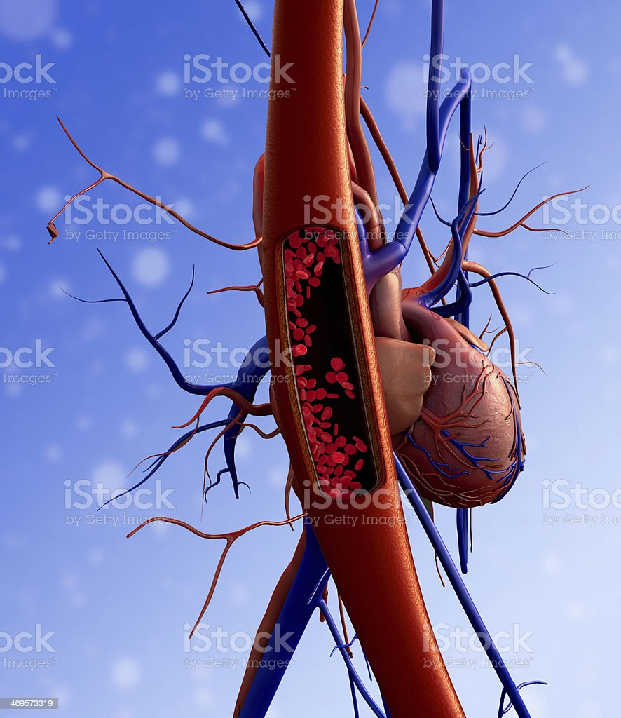 Human cardiovascular system medical illustration stock photo