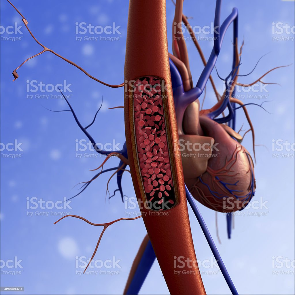 Human Cardiovascular System stock photo