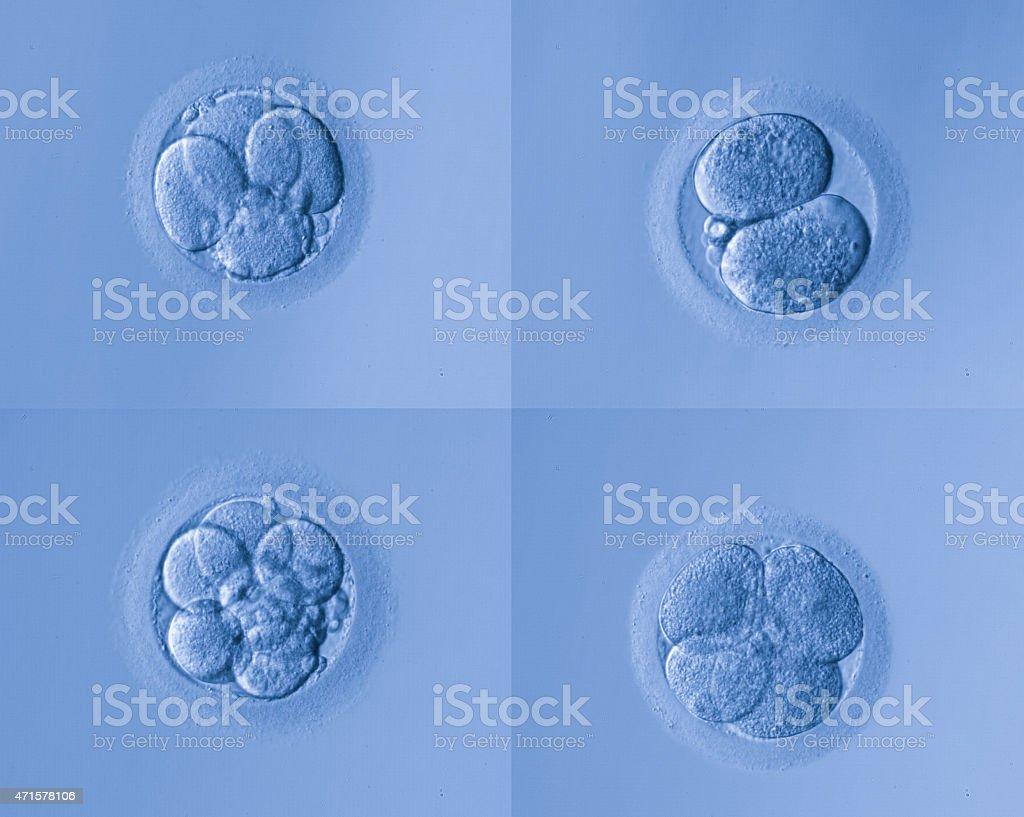human cells egg stock photo