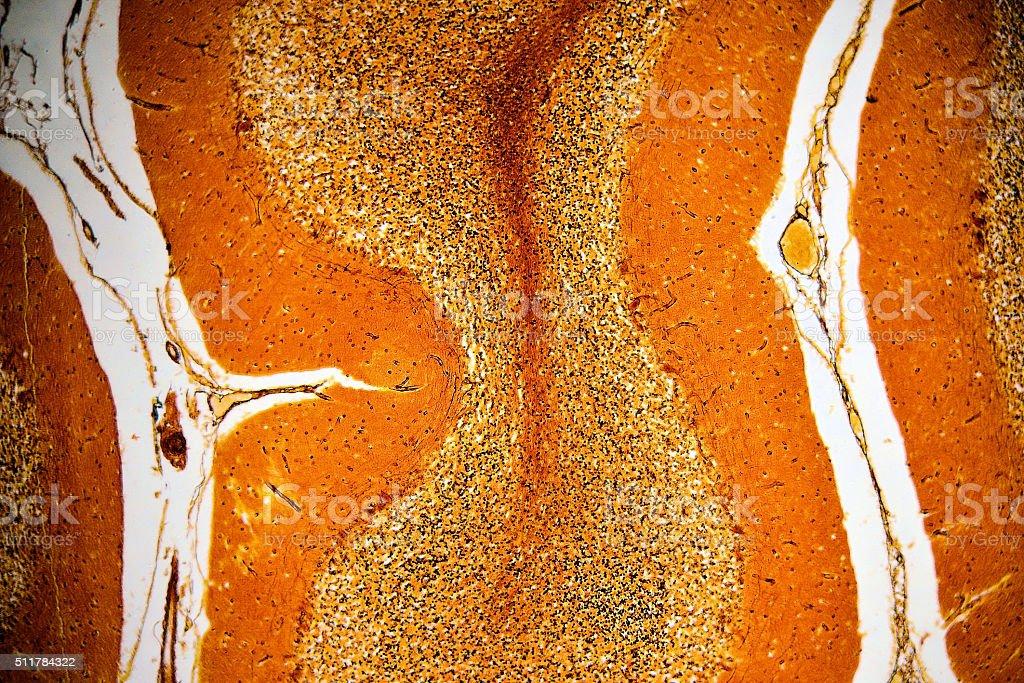 Human cerebellum - histoligical slide stock photo