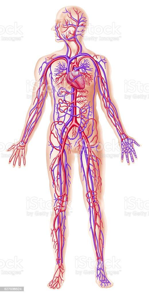 Human circolatory system stock photo
