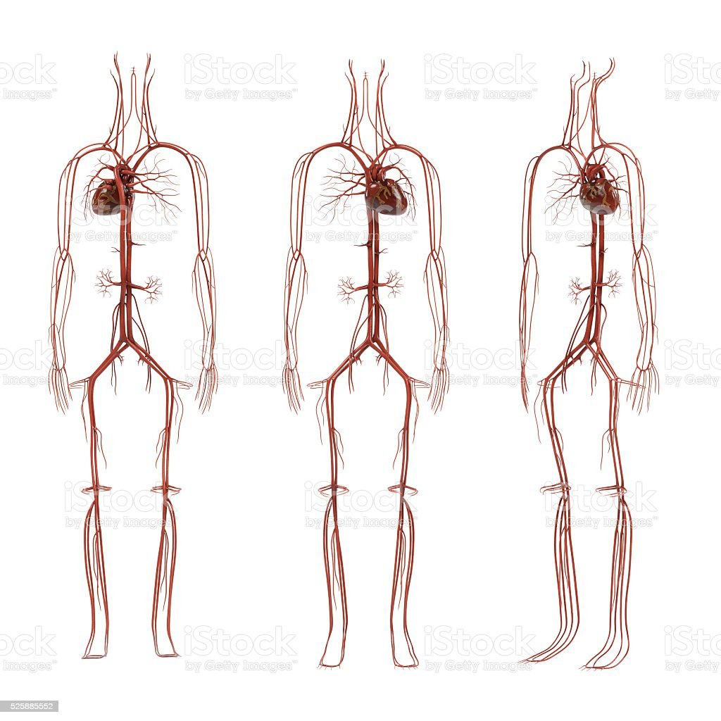 human circulatory system stock photo
