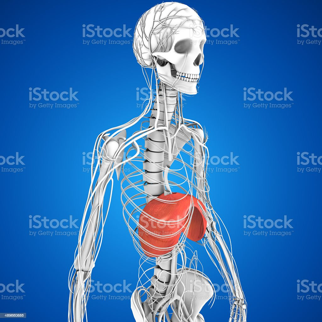 Human Diaphragm stock photo