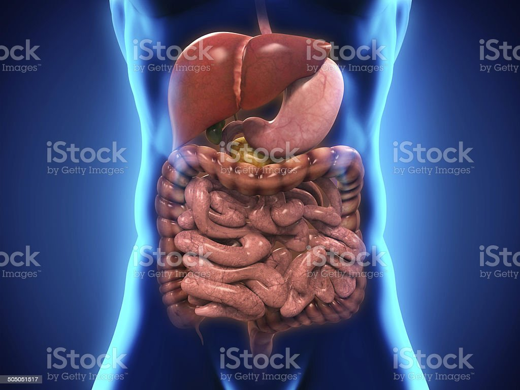 Human Digestive System stock photo