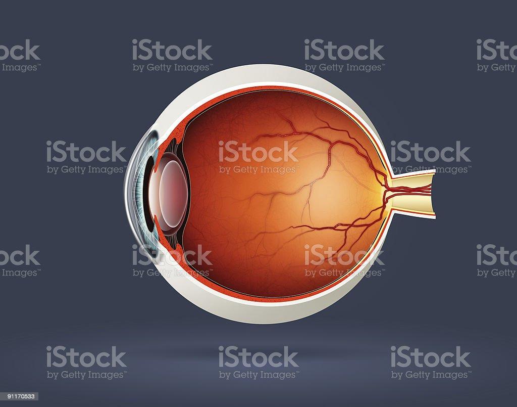 Human eye royalty-free stock photo
