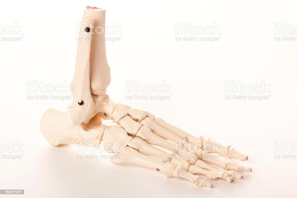 Human foot skeleton royalty-free stock photo
