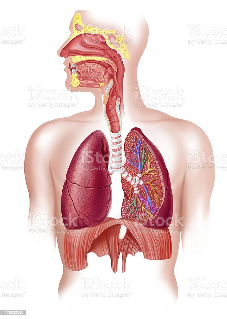 Human full respiratory system cross section, on white backgroundю stock photo