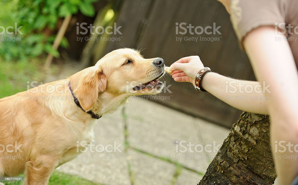 A human gives a treat to a golden retriever dog stock photo
