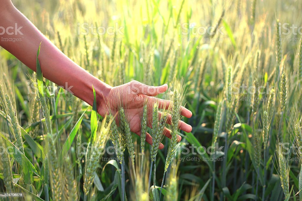 Human Hand And Wheat stock photo