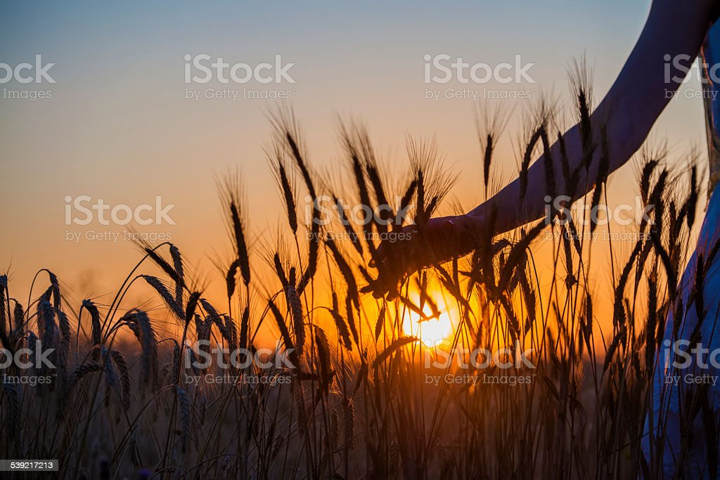 Human hand going through the field of wheat stock photo