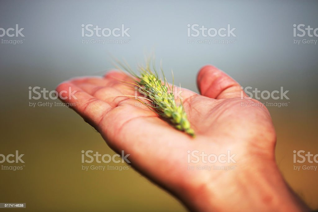 Human hand having raw spiked wheat stock photo