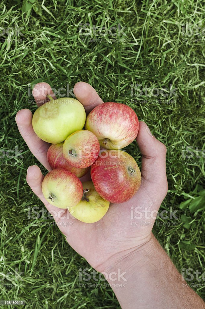 human hand holding several apples royalty-free stock photo