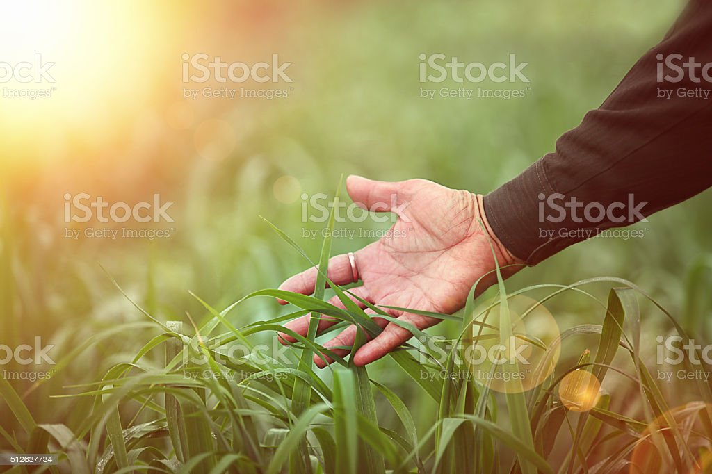 Human hand touching winter wheat stock photo