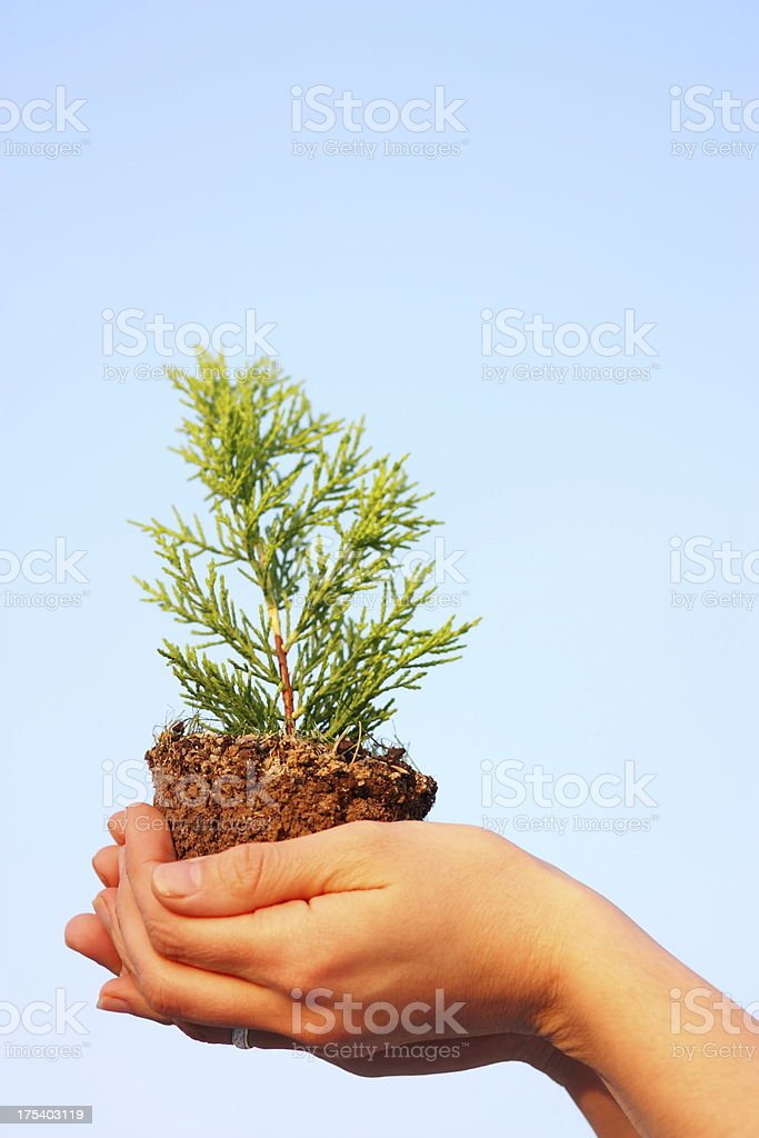 Human hands and young plant royalty-free stock photo