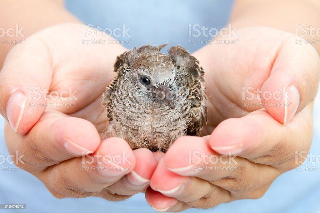 Human Hands Holding Small Bird stock photo