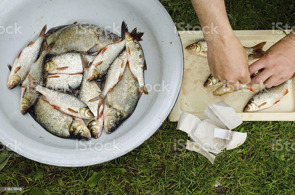 Human hands salt fish for food. Bream roach royalty-free stock photo