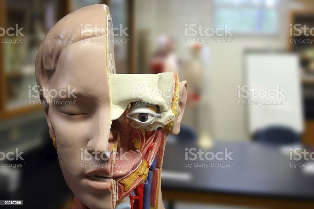 Human Head Anatomical Model Cutaway stock photo